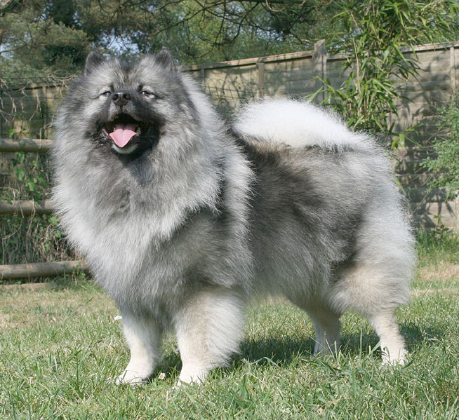 Keeshond Dog Photo